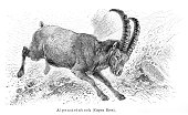 Alpine ibex goat engraving 1897