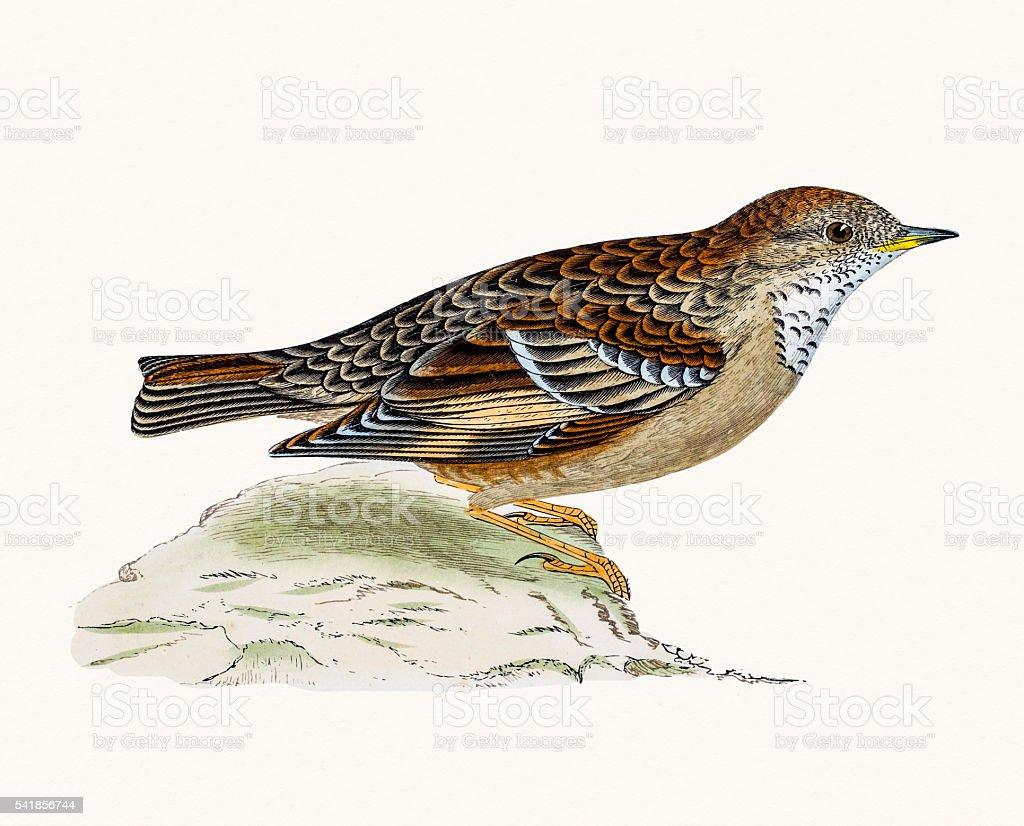 Alpine Warbler bird vector art illustration