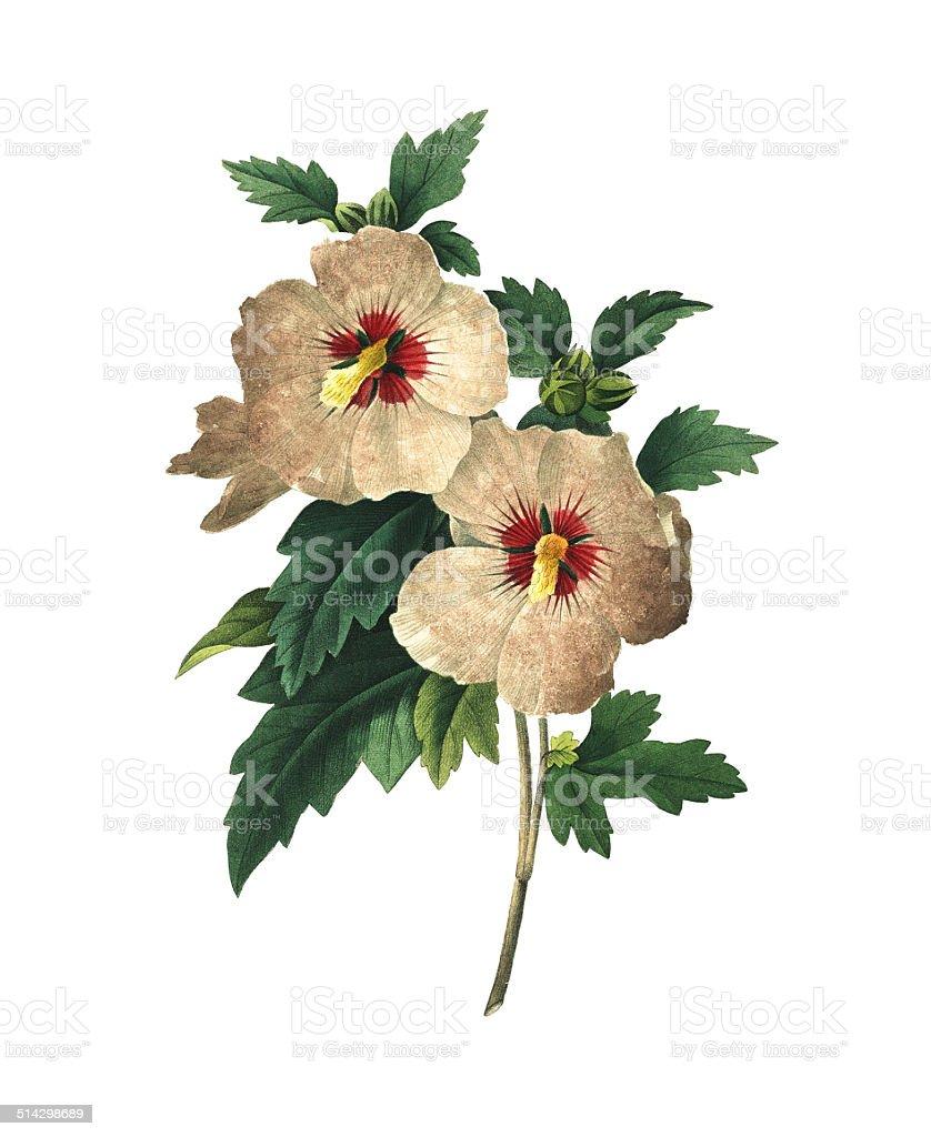 Althaea frutex | Redoute Flower Illustrations vector art illustration
