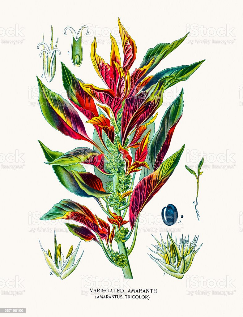 Amaranth flower vector art illustration