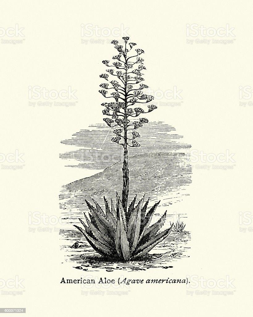 American aloe Agave americana vector art illustration