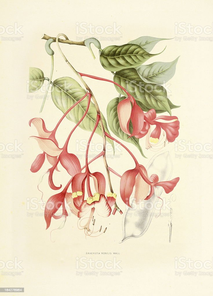 Amherstia nobilis | Antique Plant Illustrations vector art illustration