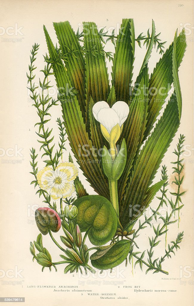 Anacharis, Elodea, Waterweed, Frogbit, Stratiotes, Water Soldier, Victorian Botanical Illustration vector art illustration