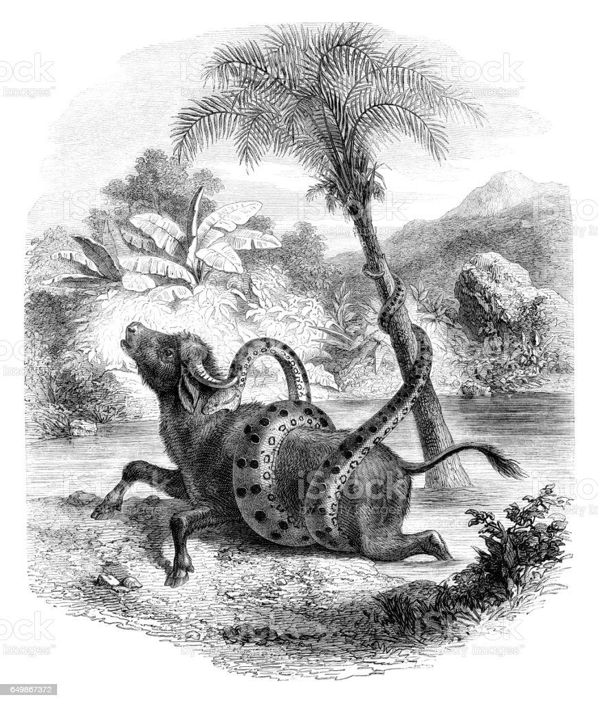 Anaconda attacking water buffalo illustration vector art illustration