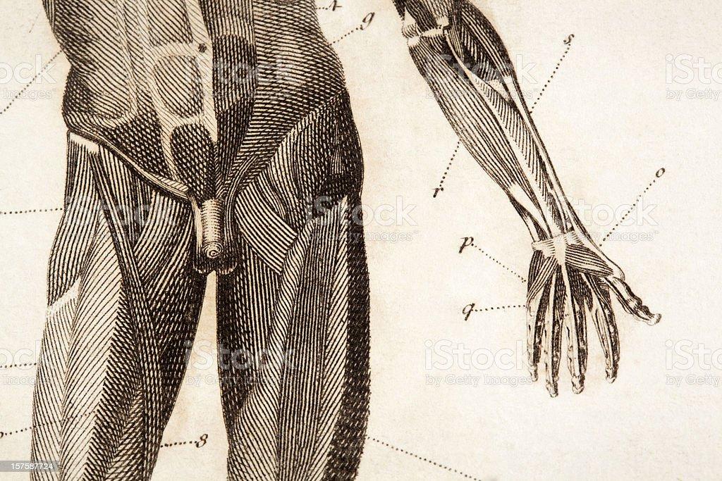 Anatomy engraving vector art illustration