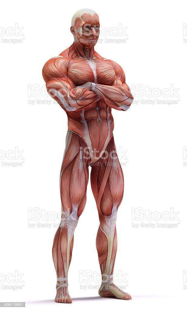 anatomy muscles vector art illustration