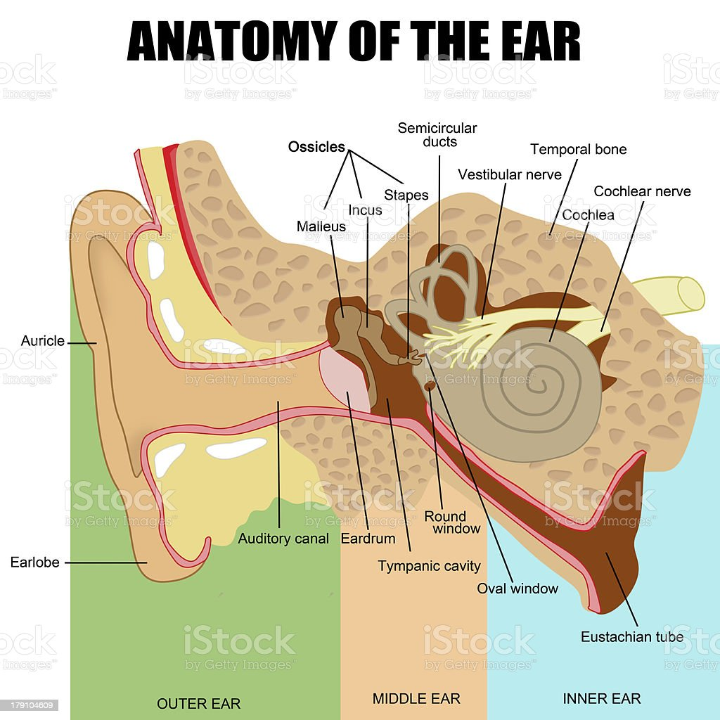 Anatomy of the human ear vector art illustration
