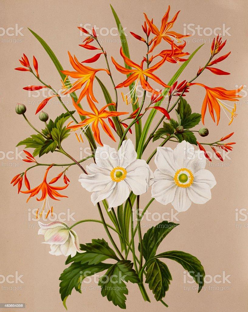 Anemone and Valentine flowers, a 19th century botanical illustration vector art illustration