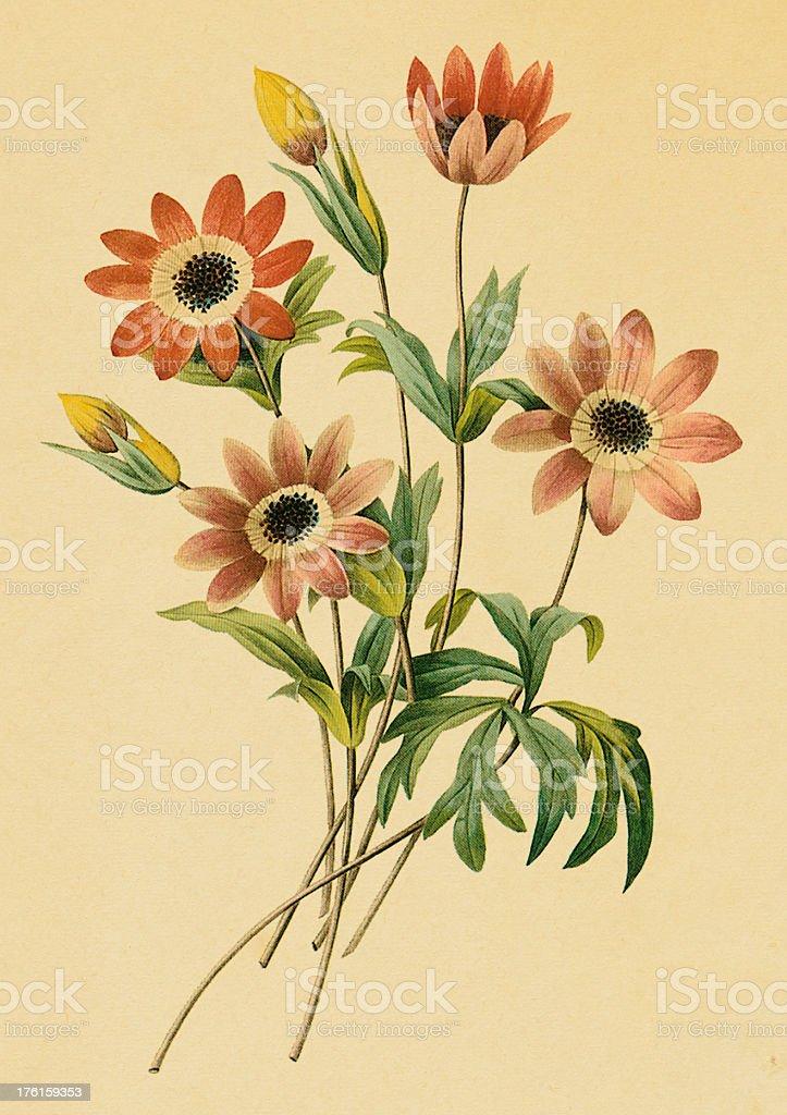 Anemone   Antique Flower Illustrations royalty-free stock vector art
