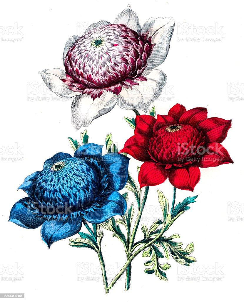 Anemone flower engraving 1853 vector art illustration