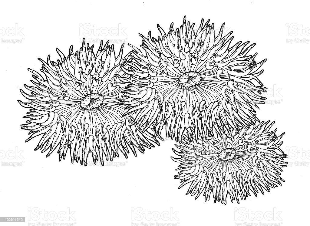 Anemone Lizenzfreies vektor illustration