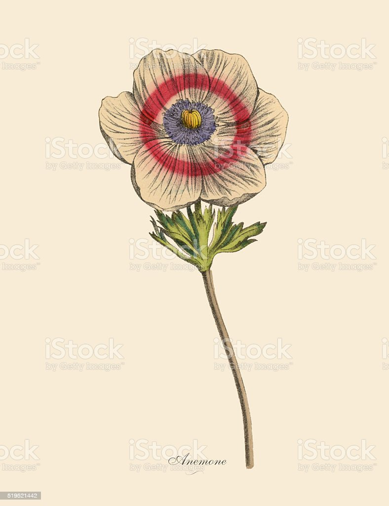 Anemone Plants, Victorian Botanical Illustration vector art illustration