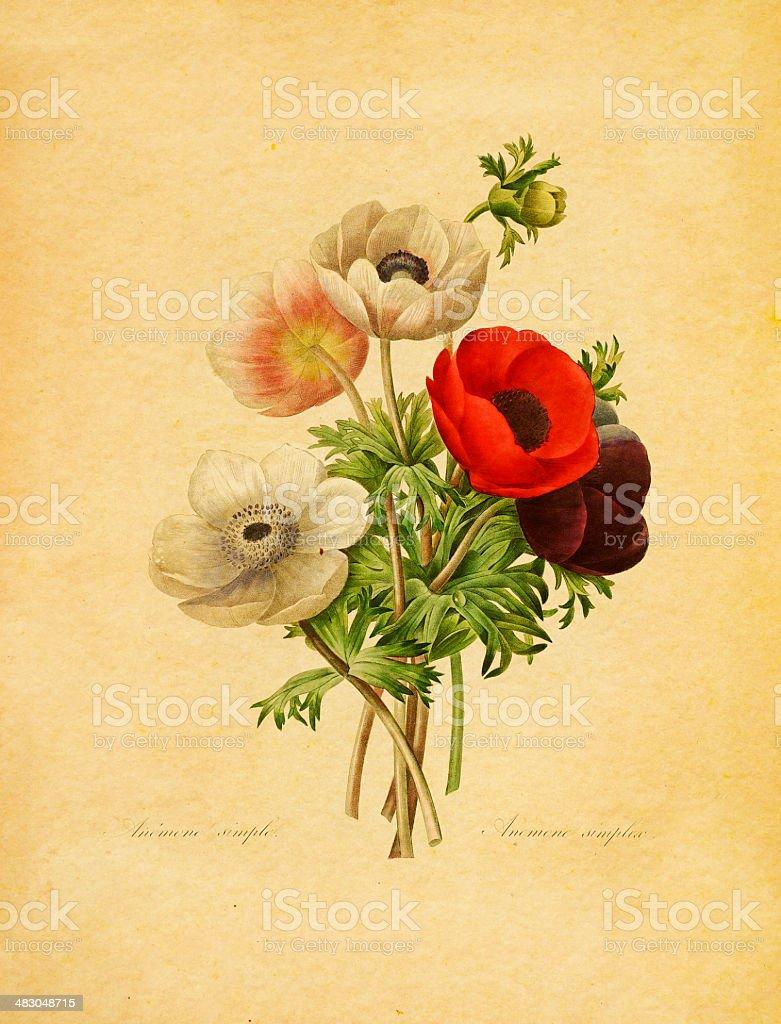 Anemone simplex   Antique Flower Illustrations royalty-free stock vector art
