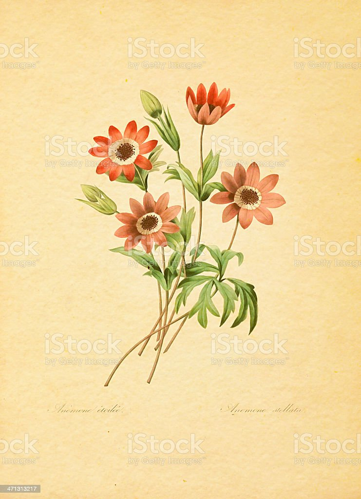 Anemone stellata | Antique Flower Illustrations royalty-free stock vector art