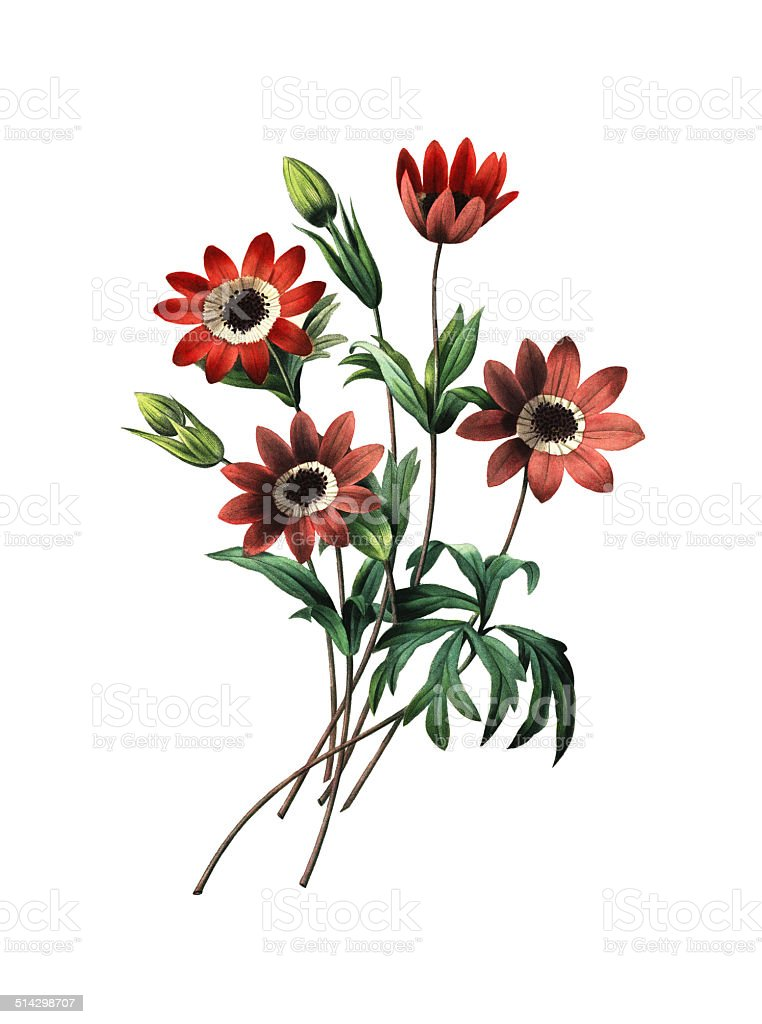 Anemone stellata | Redoute Flower Illustrations vector art illustration