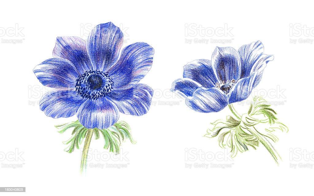 Anemones royalty-free stock vector art