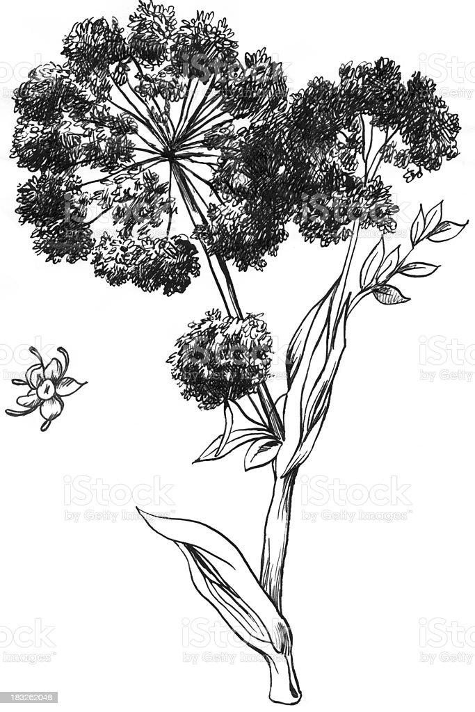 Angelica Medicinal royalty-free stock vector art