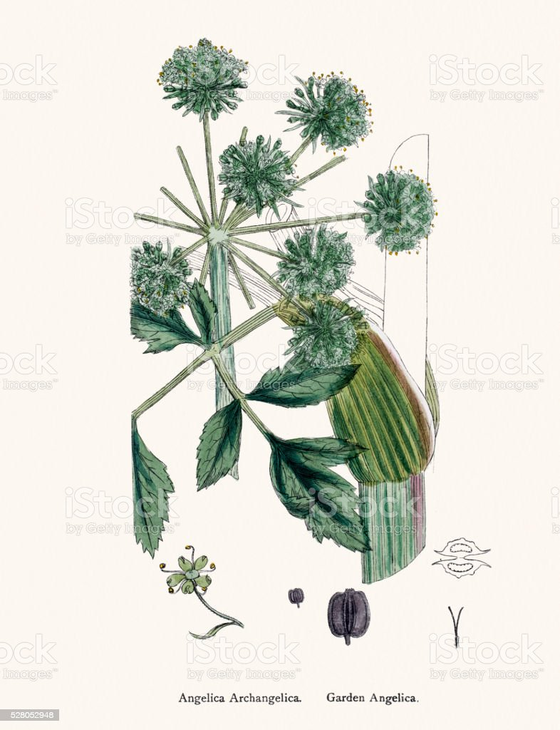 Angelica plant (Angelica archangelica) scientific illustration vector art illustration