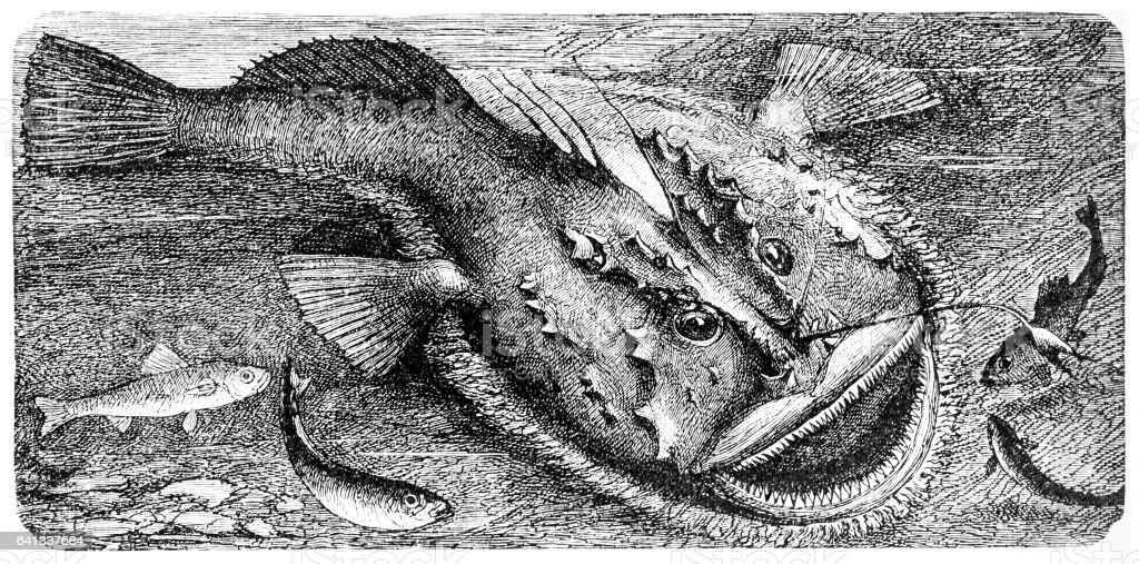 Angler (Lophius piscatorius) vector art illustration