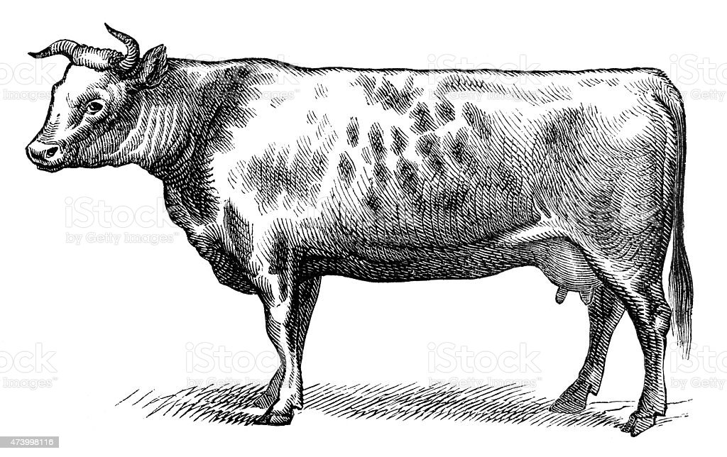 Anglo-Norman stock cow isolated on white vector art illustration