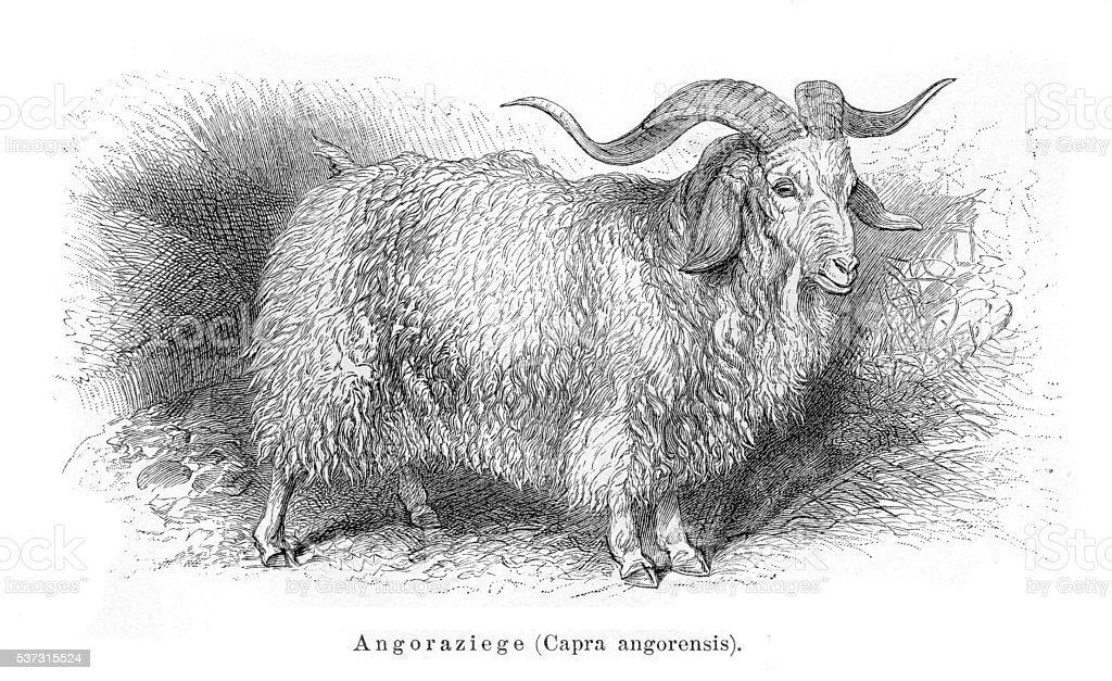 Angora goat engraving 1897 vector art illustration