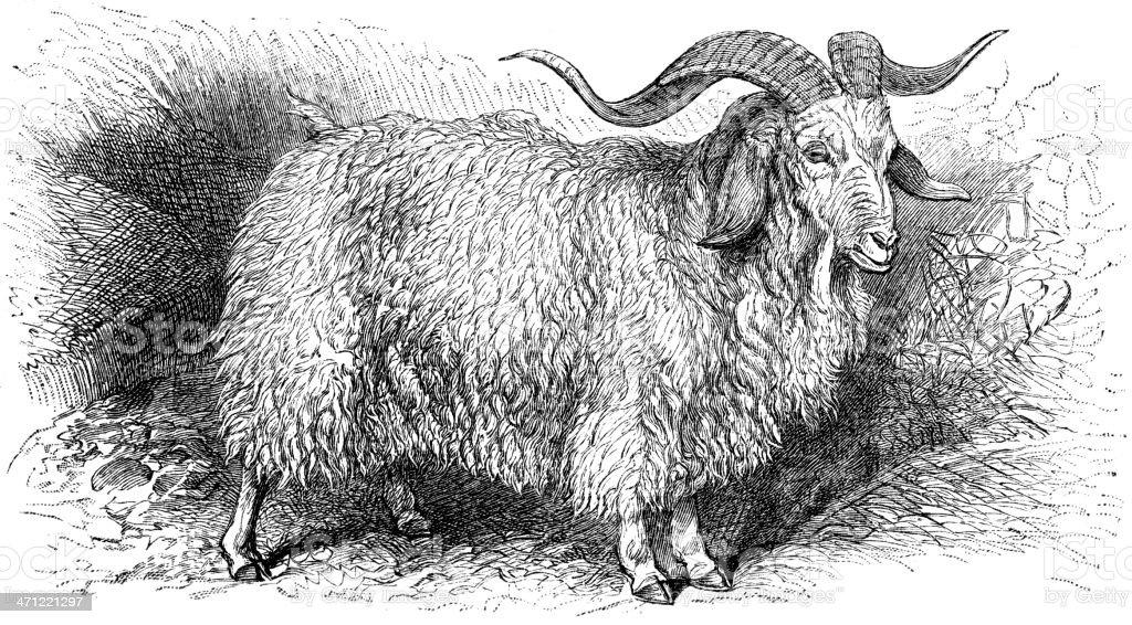 angora goat vector art illustration