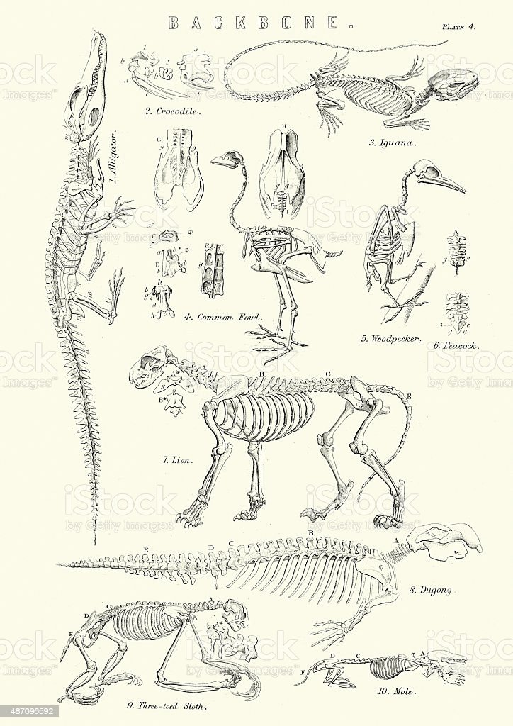 Animal Backbones 19th Century vector art illustration