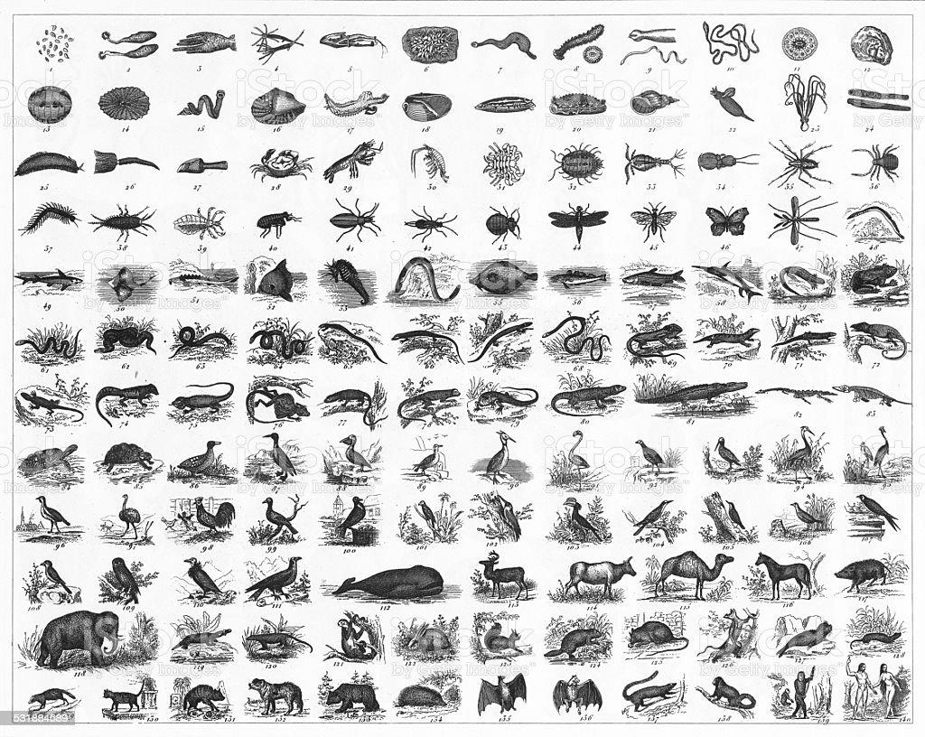 Animal Species Classification Engraving vector art illustration