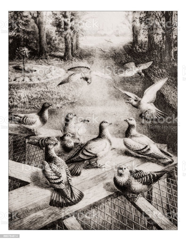 Antique animals illustration: Homing pigeons vector art illustration