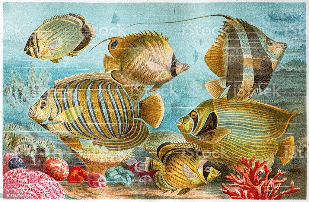 Antique color illustration of butterflyfish, coralfish and angelfish royalty-free stock vector art