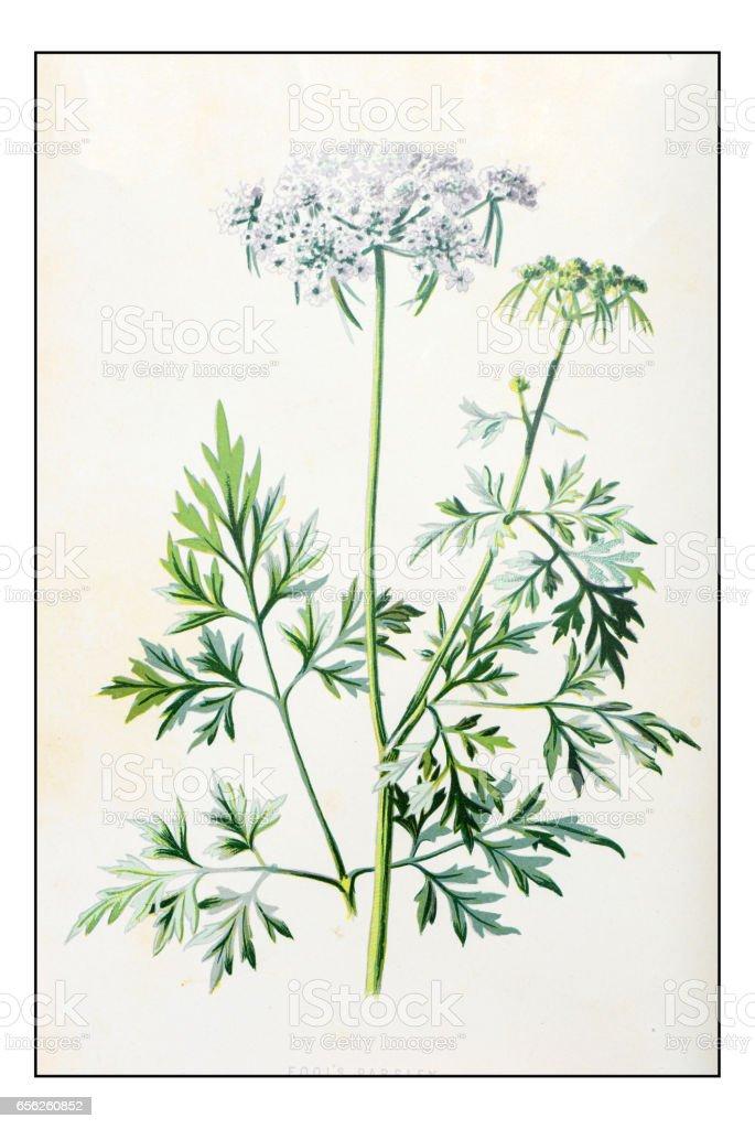 Antique color plant flower illustration: Aethusa cynapium (fool's parsley) vector art illustration