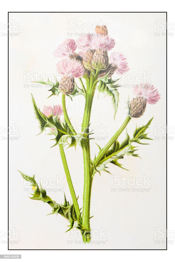 Antique color plant flower illustration: Cirsium arvense (creeping thistle) vector art illustration