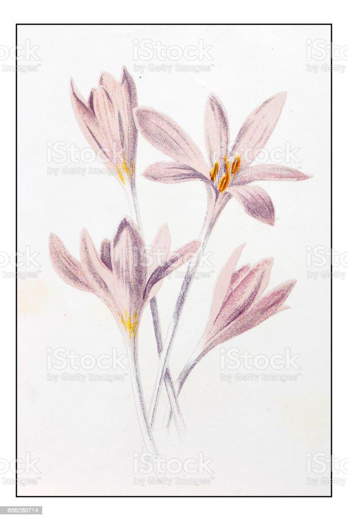 Antique color plant flower illustration: Colchicum autumnale (meadow saffron) vector art illustration