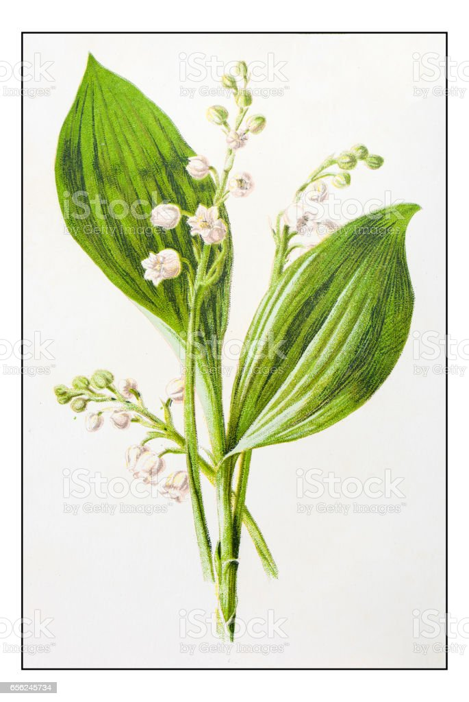 Antique color plant flower illustration: Lily of the valley (Convallaria) vector art illustration