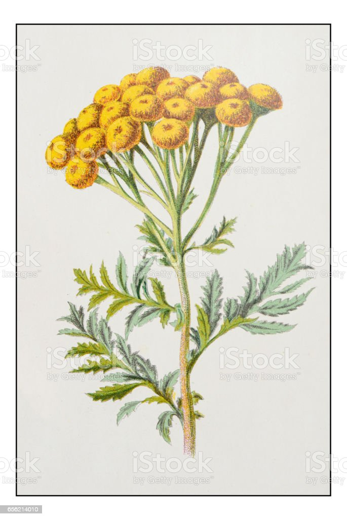 Antique color plant flower illustration: Tansy (Tanacetum vulgare) vector art illustration