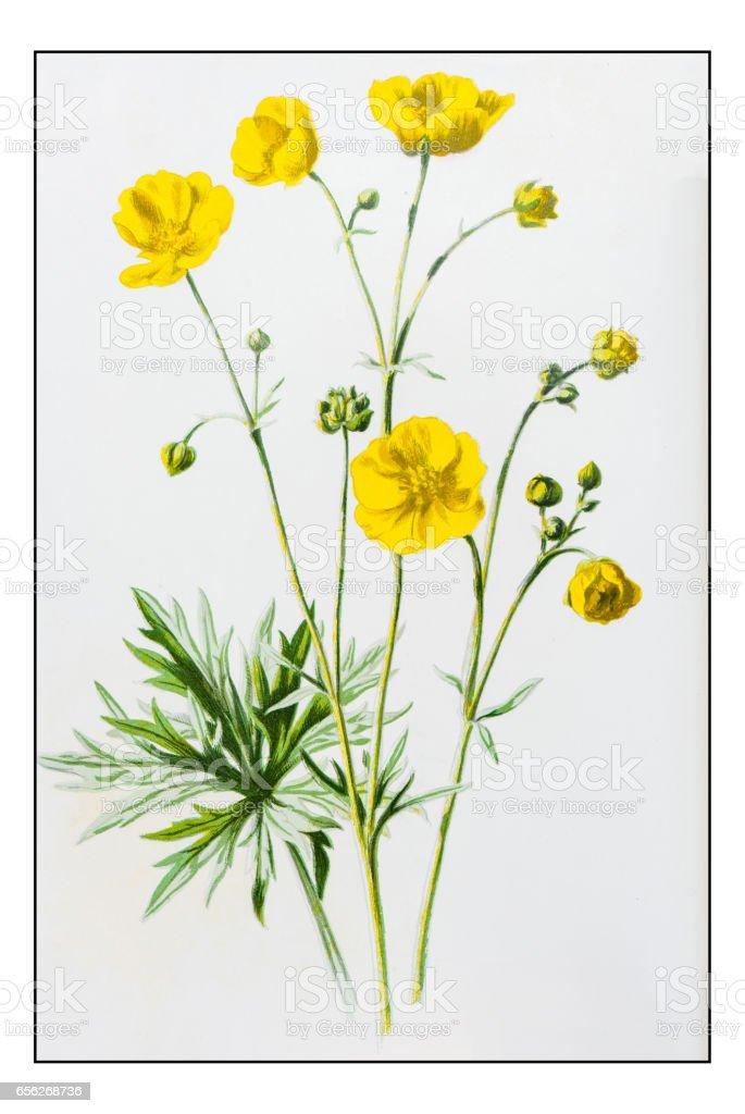 Antique color plant flower illustration: Upright Meadow Crowfoot (Ranunculus Acris) vector art illustration