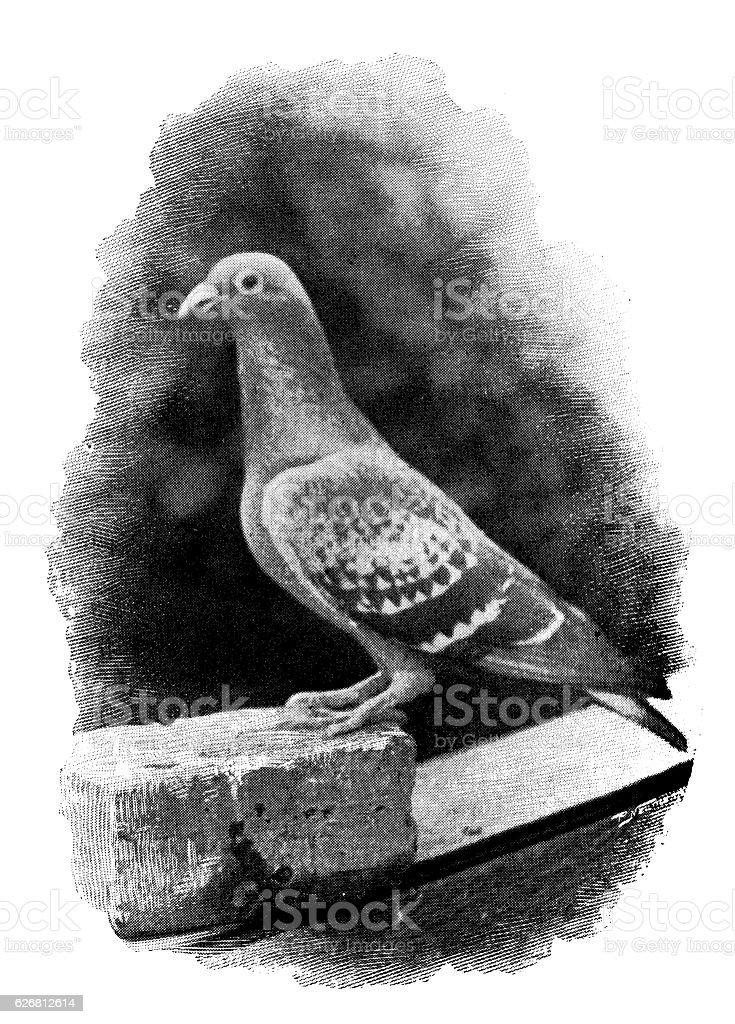 Antique dotprinted photograph: Homing pigeon vector art illustration