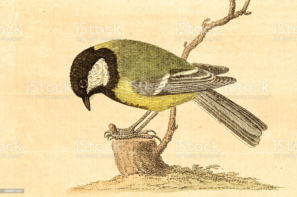 Antique engraving of a great tit vector art illustration