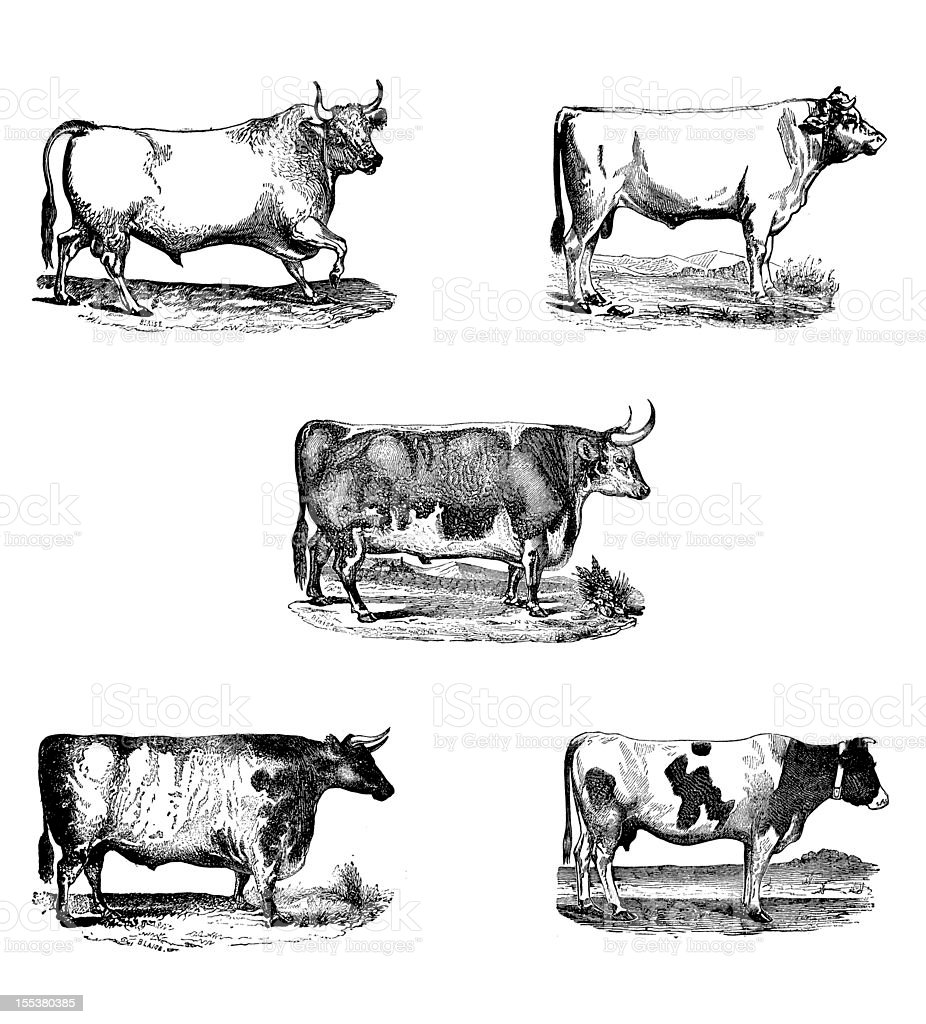 Antique engravings bull collection royalty-free stock vector art