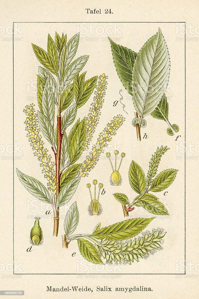 Antique Flower Illustration: Almond Willow (Salix triandra) vector art illustration