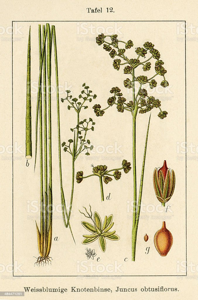 Antique Flower Illustration: Blunt Flowered Rush (Juncus subnodulosus) vector art illustration