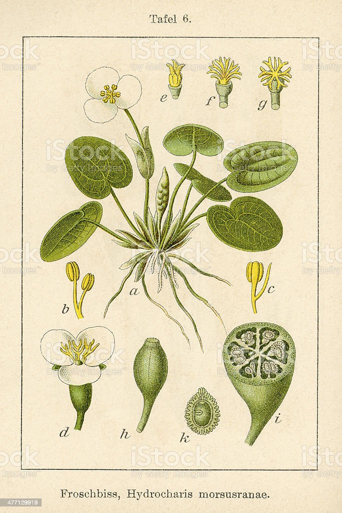 Antique Flower Illustration: Frogbit (Hydrocharis morsus-ranae) vector art illustration