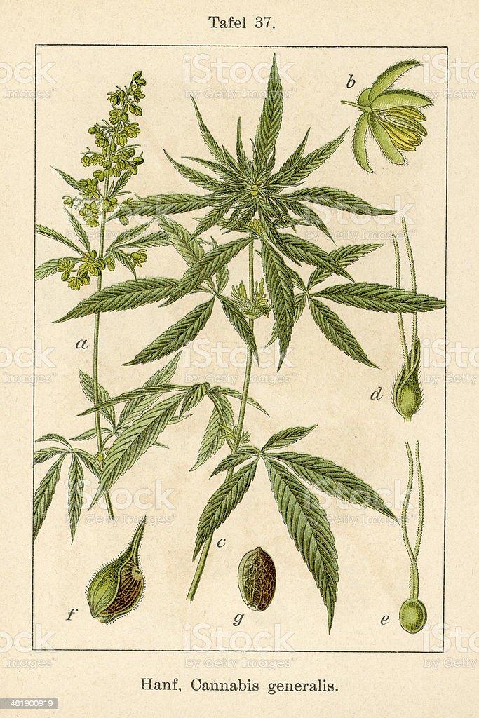 Antique Flower Illustration: Hemp (Cannabis sativa) vector art illustration