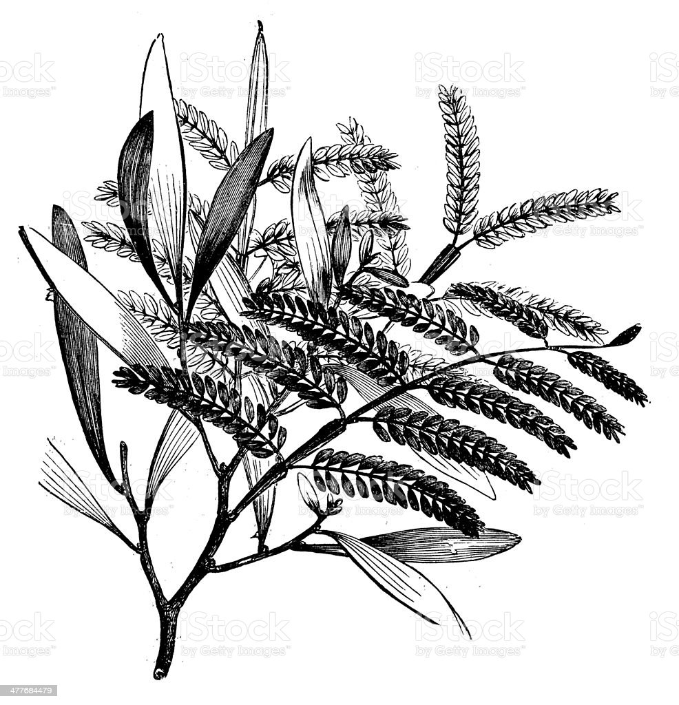 Antique illustration of Acacia heterophylla (Highland tamarind) vector art illustration