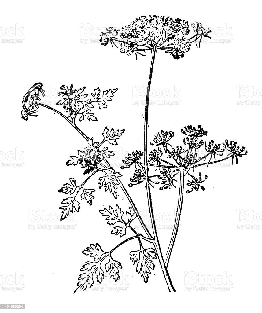 Antique illustration of Aethusa cynapium (fool's parsley, fool's cicely) vector art illustration