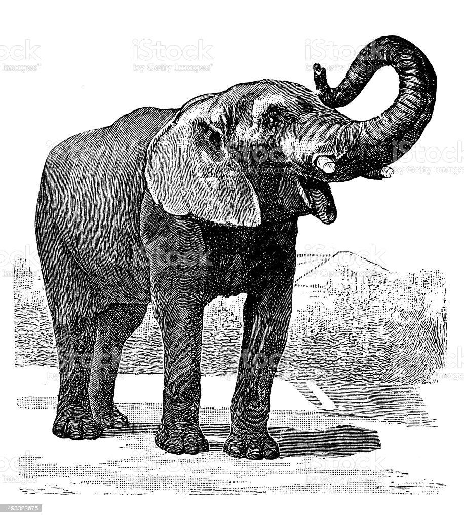 Antique illustration of African Elephant vector art illustration