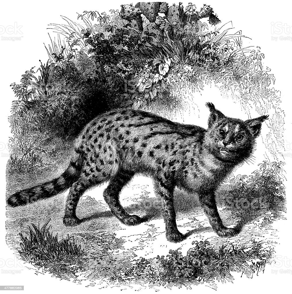Antique illustration of african serval cat (Leptailurus serval) royalty-free stock vector art
