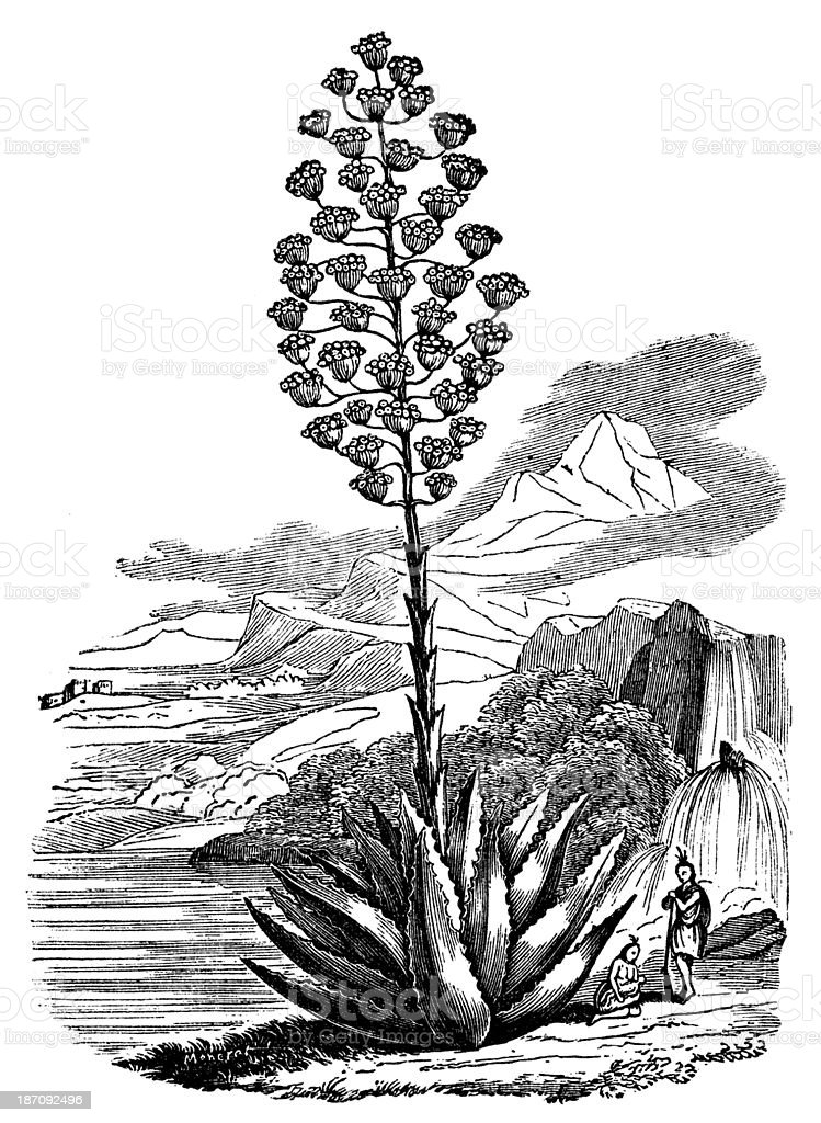 Antique illustration of Agave americana (century plant, maguey) vector art illustration