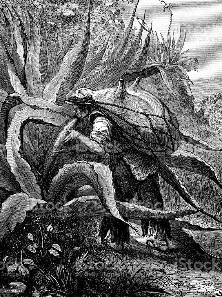 Antique illustration of agave pulque harvesting vector art illustration