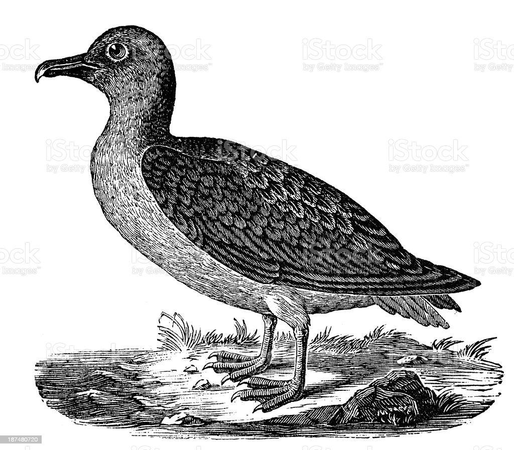 Antique illustration of Albatross (Diomedeidae) vector art illustration